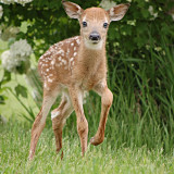 One of the twin fawns. It thought I was it's mother, so I was able to get really close shots of it. May 22, 2009