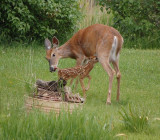 This doe had twins, the other one was killed by a stray dog. This is their reunion. May 22, 2009