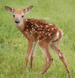 New fawn. May 22, 2009