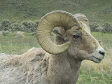 Ram, Wyoming, 2008