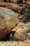 oryx under rock