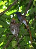 paradise flycatcher & babies