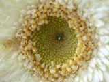 Argyranthemum Summer Angel