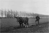 Ploegen met de koe