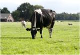 Holstein Frisian