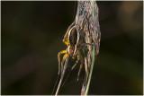 gerande Oeverspin - Dolomedes fimbriatus