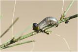 larve van Aspergehaantje - Crioceris asparagi