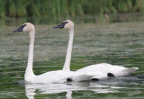 Swans III copy.jpg
