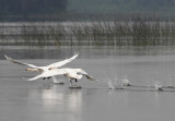 Swans V copy.jpg