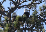 Eagles at the top of a Norway pine copy.jpg