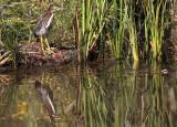 Green heron copy.jpg