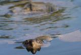 Snapping Turtle II copy.jpg