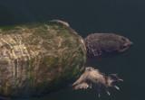 Snapping Turtle III copy.jpg