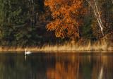 Swan in fall colors copy.jpg