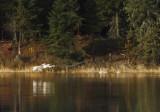 Swan shoreline activity copy.jpg