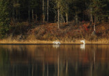Swans along fall shoreline copy.jpg