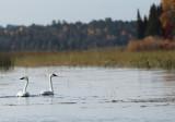 Swans on Itasca II copy.jpg