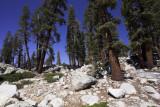 High Sierra Treeline.jpg