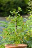 Bur Oak Bonsai Experiment