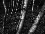 Birches II (DSCN6010.jpg)