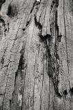 An old tree where I go fishing (_DSC0053.jpg)