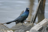 Blackbirds, Finches