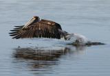 Loons, Grebes, Cormorants, Pelicans