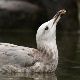 Caspian gull (larus cachinnans), Warsaw, Poland, September 2008