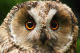 Long-eared owl, Halle (Saale), Germany, September 2008