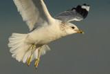 Common gull (larus canus), Saint-Sulpice, Switzerland, February 2009