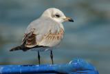 Mediterranean gull (larus melanocephalus), Morges, Switzerland, February 2009