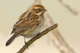 Reed bunting (emberiza schoeniclus), Grandcour, Switzerland, March 2009