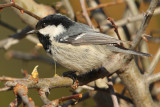 Coal tit (periparus ater), Ayer, Switzerland, April 2009