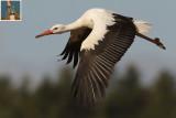 White stork (ciconia ciconia), Echandens, Switzerland, April 2009