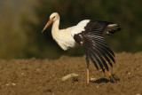 White stork (ciconia ciconia), Bussigny, Switzerland, April 2009