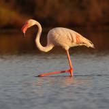 Greater flamingo (phoenicopterus roseus), Santa Pola, Spain, September 2009