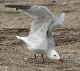 Audouin's gull (larus audouinii), Cabo de Gata, Spain, September 2009