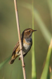 White-spotted bluethroat (luscinia svecica), Elche, Spain, September 2009