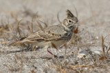 Thekla lark (galerida theklae), Cabo de Gata, Spain, September 2009