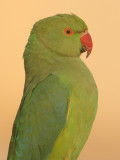 Rose-ringed parakeet (psittacula krameri), Udaipur, India, December 2009