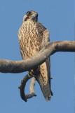 Peregrine falcon (falco peregrinus calidus), Bharatpur, India, December 2009