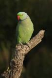 Rose-ringed parakeet (psittacula krameri), Jaipur, India, December 2009