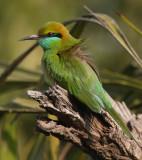 (Little) Green bee-eater (merops orientalis orientalis), Jaipur, India, December 2009
