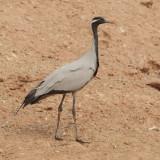 Demoiselle crane (anthropoides virgo), Keechan, India, January 2010