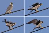 Peregrine falcon (falco peregrinus),Vullierens, Switzerland, August 2010