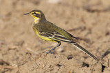 Yellow wagtail (motacilla flava), Romanel, Switzerland, September 2010