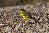 Yellow wagtail (motacilla flava feldegg), Gialova, Greece, September 2010