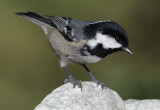 Coal tit (periparus ater), Ayer, Switzerland, October 2010