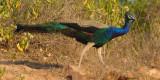 Indian peafowl (pavo cristatus), Ranthambore, India, December 2009