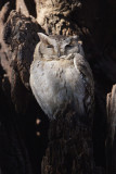 Collared scops owl (otus lettia), Ranthambore, India, December 2009